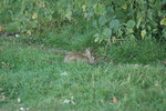 Rabbit 005.JPG