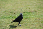 Crow 006.JPG